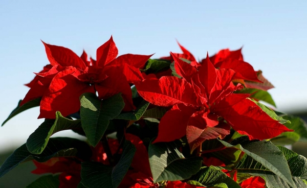 Poinsettia: The Star Of Christmas