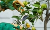 How to prune lemon trees